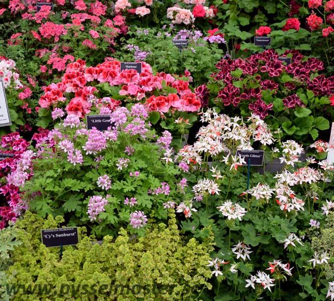 geraniums_pysselmoster