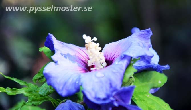 hibiscus_pysselmoster