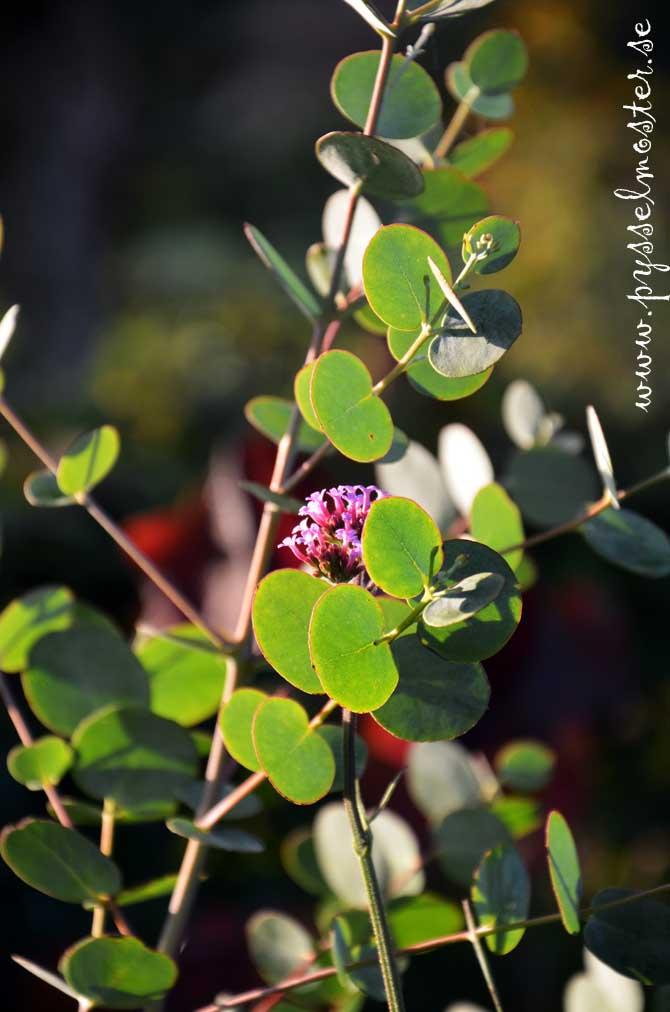eucalyptus_pysselmoster